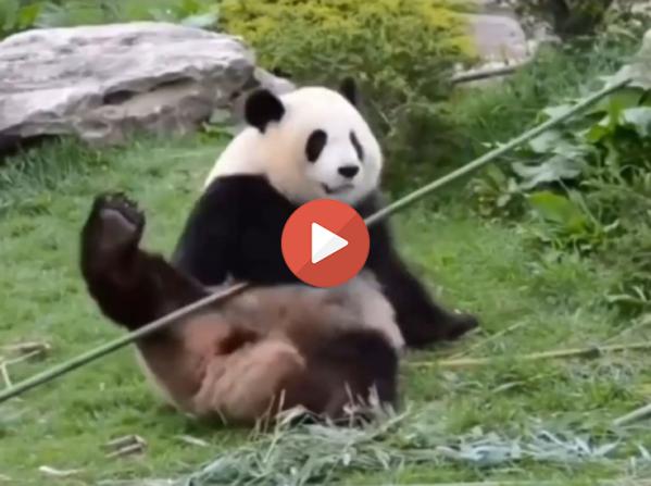 Real version of Kung Fu Panda